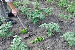 Senior woman hoeing the tomato plantation Royalty Free Stock Image