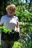 Senior woman holding crate of fresh vegetables in garden Royalty Free Stock Photography