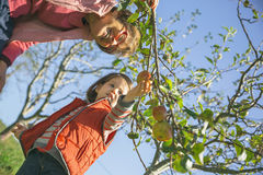 Senior woman and little girl picking apples from tree Royalty Free Stock Image