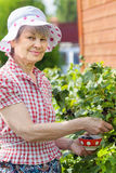 Senior woman near bushes of black currant Royalty Free Stock Photos