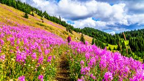 Free Senior Woman On A Hiking Trail In Alpine Meadows Covered In Pink Fireweed Flowers Stock Photo - 100404870