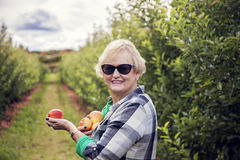 Senior woman picking apples. Smiling senior woman holding apples in an apple orchard royalty free stock image