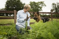 Senior woman picking carrots from her garden allotment with her Alsatian. In summer royalty free stock image
