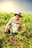 Senior Woman Picking Cherry Tomatoes Royalty Free Stock Photos