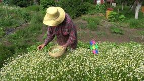 Senior woman picking medical chamomile flowers stock video
