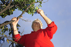 Senior woman picking plums Royalty Free Stock Photo