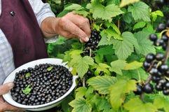 Senior woman picking ripe black currant Stock Photos