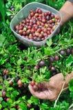 Senior woman picking ripe gooseberries Stock Images