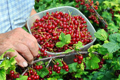 Senior woman picking ripe red currant Stock Image
