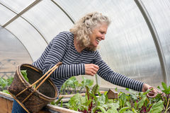 Senior Woman Picking Salad Greens in Her Greenhouse Stock Photography