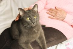 Senior woman in pink sweater petting her old cat friend. Big old cat sitting on elderly woman`s lap. Senior lady pets her blue russian kitty. Grandmother stock photo