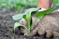 Senior woman planting cabbage seedling Stock Photo
