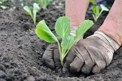 Senior woman planting cabbage seedling Royalty Free Stock Photography