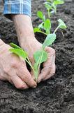 Senior woman planting cabbage seedling Stock Images
