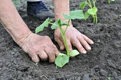 Senior woman planting a cucumber seedling Royalty Free Stock Photo