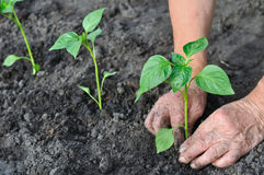 Senior woman planting a pepper seedling Stock Photography
