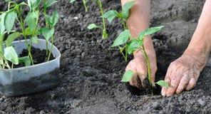 Senior woman planting a pepper seedling Stock Photos