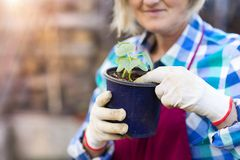 Senior woman planting seedlings Stock Photography