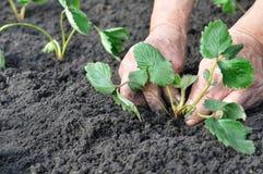 Senior woman planting a strawberry seedling Stock Photos