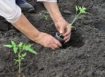 Senior woman planting a tomato seedling Royalty Free Stock Image