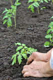 Senior woman planting a tomato seedling Royalty Free Stock Photos