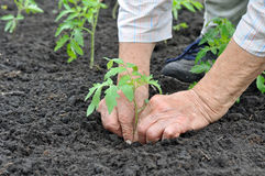 Senior woman planting a tomato seedling Royalty Free Stock Image