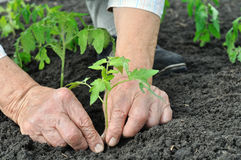 Senior woman planting a tomato seedling. In the vegetable garden Royalty Free Stock Photography