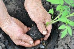 Senior woman planting a tomato seedling Royalty Free Stock Photos
