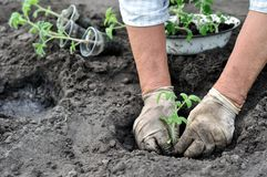Senior woman planting a tomato seedling Stock Image