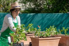 Senior woman potting geranium flowers, outdoors stock photography