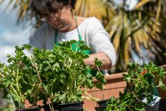 Senior woman potting geranium flowers, outdoors royalty free stock photo