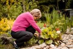 Senior woman pruning flowers Stock Photography