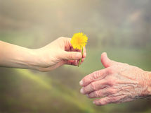 Senior woman sharing a flower with young woman Royalty Free Stock Image