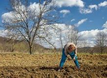 Senior woman sowing potatoes Stock Image
