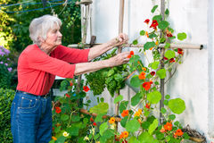 Senior Woman Taking Care of her Flower Vine Stock Photos