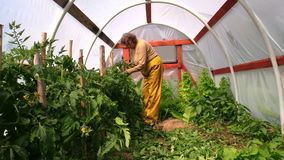 Senior woman tie tomato plants in hothouse greenhouse stock video footage