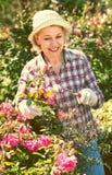 Senior woman trimming a rose-bush in garden Stock Photos