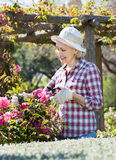 Senior woman trimming a rose-bush in garden Royalty Free Stock Photography