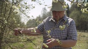 Senior woman examines flowering willow. Senior woman volunteer examines flowering willow. Save the nature concept stock video footage