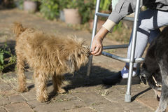 Senior woman with walker and feeding her old dog. Senior woman sitting with walker and feeding her old dog Royalty Free Stock Image
