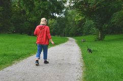 A 60+ senior woman walking her pet dog in a city park and picking up his poop. A 60+ senior retired woman walking her dwarf German pinscher puppy in a city park stock images