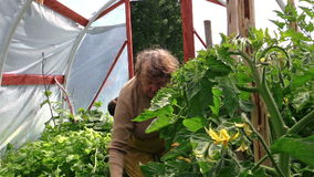 Senior woman weed tomato seedling in greenhouse. Summer work. stock footage