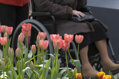Senior woman in wheelchair behind flower bed Royalty Free Stock Images