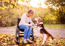 A senior woman in wheelchair with dog in autumn nature. Royalty Free Stock Photos