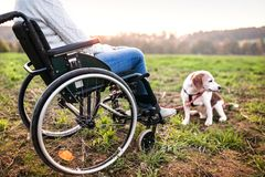 A senior woman in wheelchair with dog in autumn nature. Stock Photos