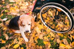 A senior woman in wheelchair with dog in autumn nature. Stock Photo
