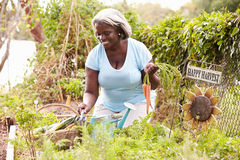 Senior Woman Working On Allotment Stock Photography