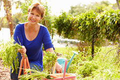 Senior Woman Working On Allotment And Picking Carrots Stock Image