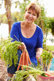 Senior Woman Working On Allotment And Picking Carrots royalty free stock photography