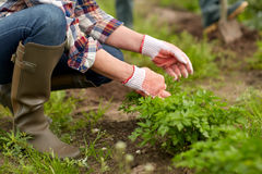 Senior woman working in garden or at summer farm Royalty Free Stock Image